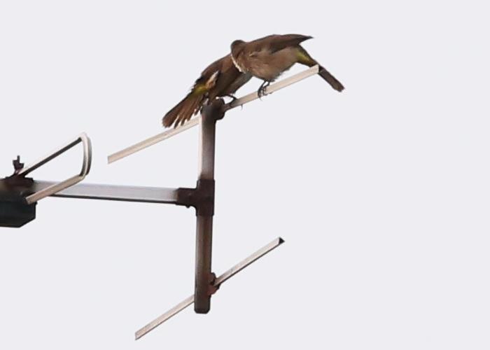 นกปรอดหน้านวล-4