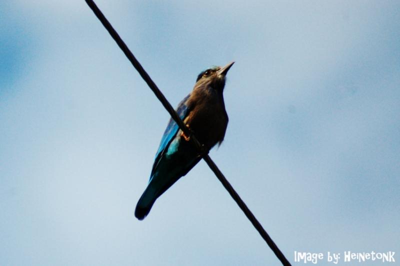 นกตะขาบทุ่ง.jpg