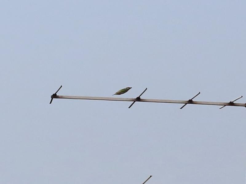 นกตีทอง-6