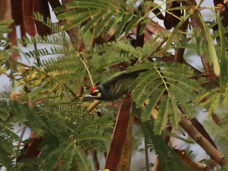 นกตีทอง-2