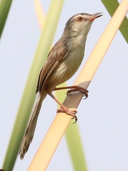 นกกระจิบหญ้าสีเรียบ-2