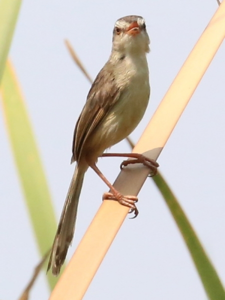 นกกระจิบหญ้าสีเรียบ-3