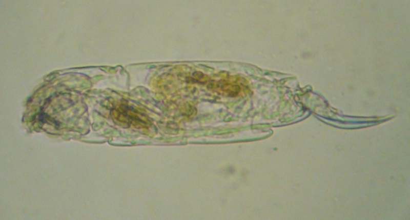 Cephalodella sp.