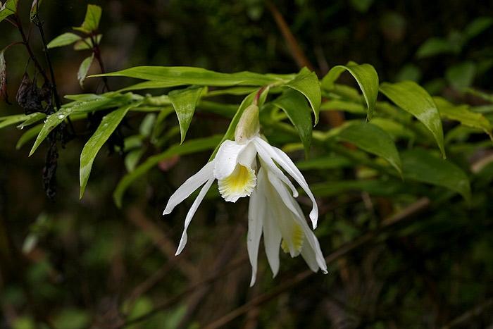 ช้างงาเดียว Thunia alba (Lindl.) Rchb.  หอมมาก