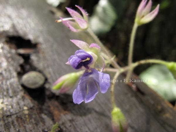 ornithoboea sp.