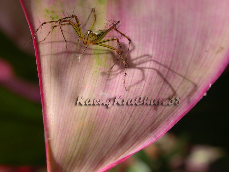 oxyopes_sp.jpg
