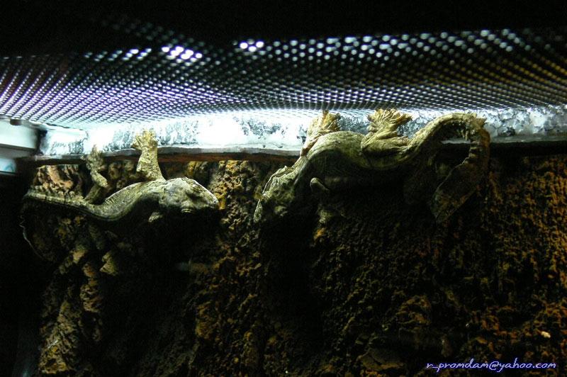 Glinding Gecko