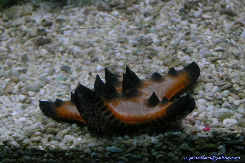 Sea star or Star fish