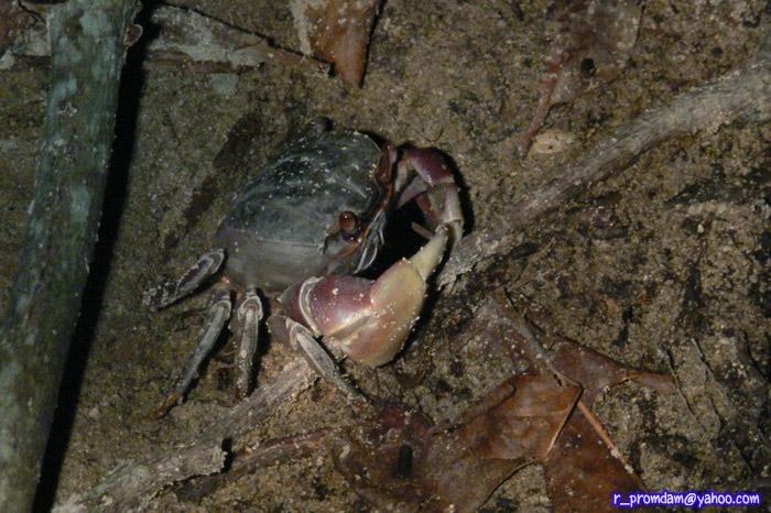 ปูไก่ Cardisoma carnifex ส่วนใหญ่จะประจำอยู่ปากรู เดินเสียงดังหน่อยก็จะหนีหายลงรูไป