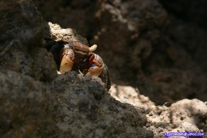 ปูแสมชนิด Perisesarma dussumieri พบอยู่แนวหลังของป่าชายเลน เชื่อมต่อถึงพื้นที่น้ำจืด