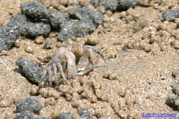 ปูทหาร Dotilla myctiroides เจอเยอะบนหาด แต่ถ่ายรูปให้เห็นแบบเยอะได้ยากจริง
