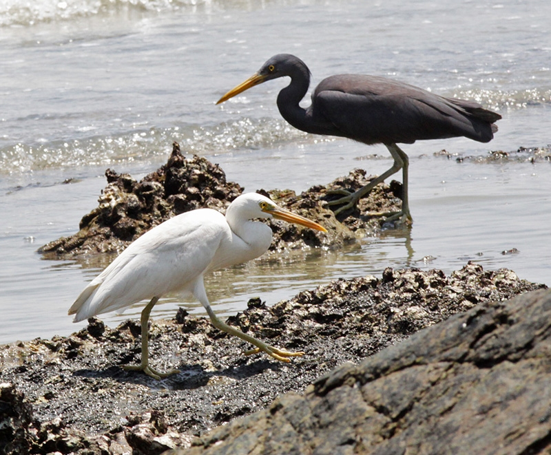 Pacific Reef Egret (white and dark morphs)