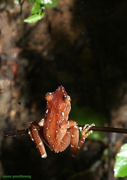 Nyctixalus pictus ปาดป่าจุดขาว