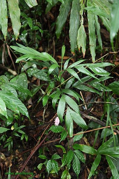 Pinanga sp. iraicho