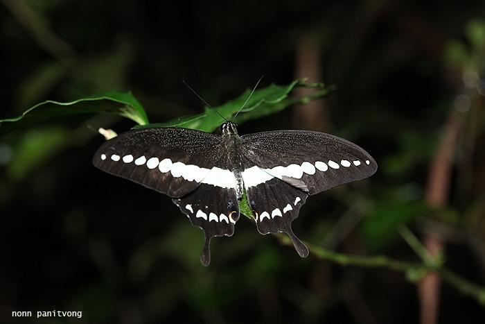 หางติ่งสะพายขาว Papilio demolion demolion