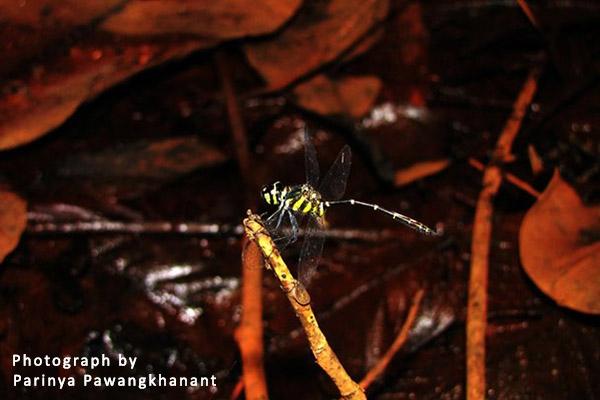 Risiophlebia dohrni ตัวผุ้