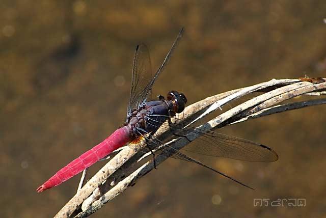 แมลงปอบ้านเสือแดงม่วง