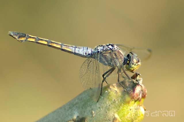 ตัวที่ 7 แมลงปอบ้านทุ่งขนเทา ตัวเมีย Potamarcha congener