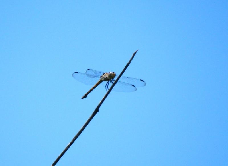 แมลงปอบ้านทุ่งขนเทา หรือ แมลงปอบ้านพ่อตา ตัวเมีย Potamarcha congener