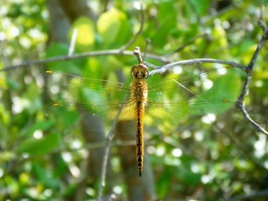 แมลงปอบ้านแผ่นปีกกว้าง ตัวผู้ Pantala flavescens