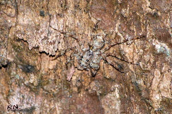 phaeacius_malayensis.jpg