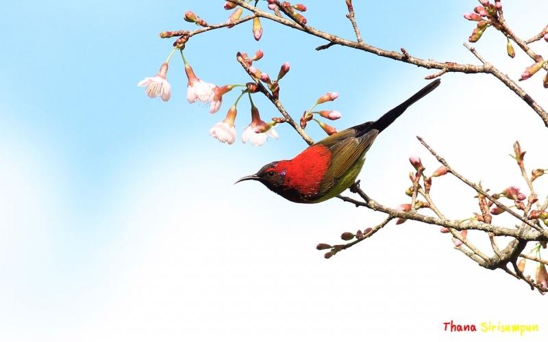 นกกินปลีหางยาวคอสีฟ้า