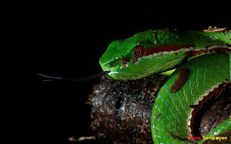 งูเขียวหางไหม้ท้องเหลือง