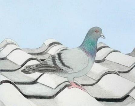 Rockpigeon