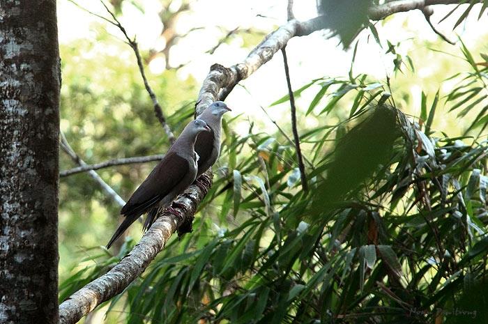 นกมูม เป็นพิราบป่าชนิดหนึ่ง