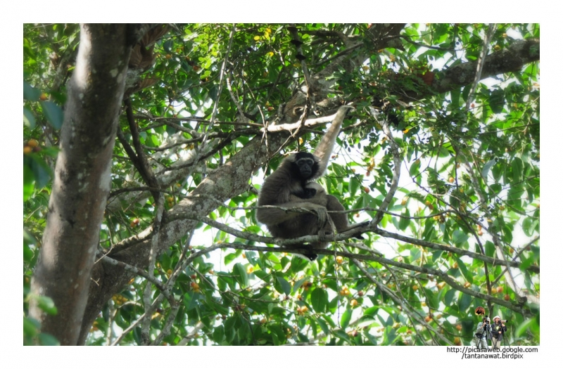 pileated-gibbon