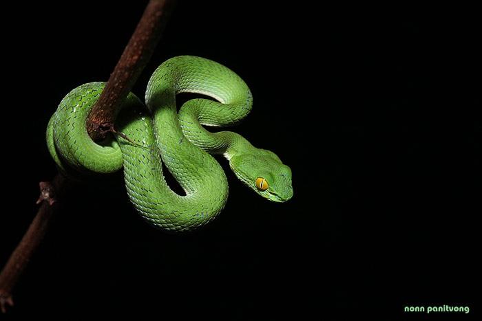 งูเขียวหางไหม้ตาโต