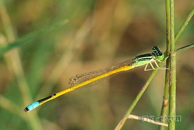 ตัวที่ 33 แมลงปอเข็มนาโคนเหลือง ตัวผู้ Ischnura aurora