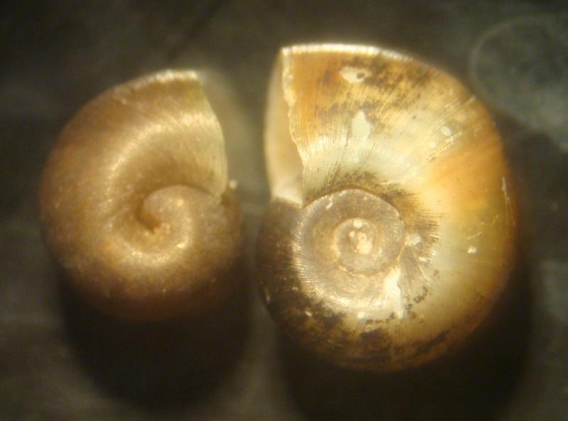Planorbidae-Indoplanorbis.jpg