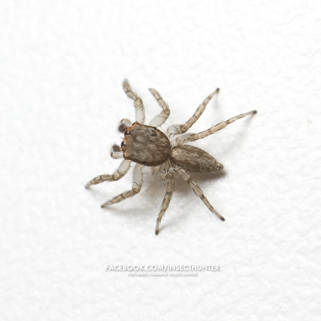 plexippus_setipes-male-4.1mm-huamark_bangkapi-bkk-26-10-11.jpg