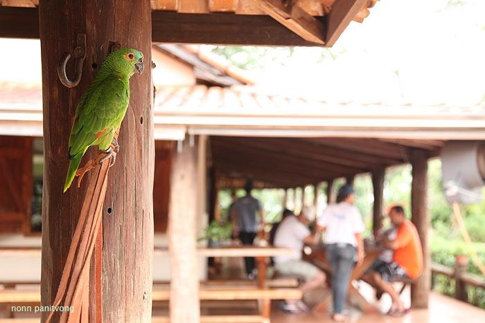 Amazona aestiva กึ่งๆนกเลี้ยง บินได้ ไม่ได้ล่ามได้อะไร แต่ไม่ไปไหน วนๆอยู่แถวนั้นครับ