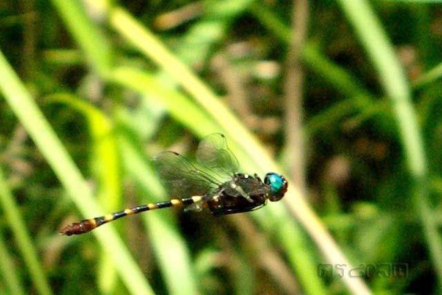 ตัวที่ 24 แมลงปอป่าตาเขียวปีกใส Epophthalmia frontalis
