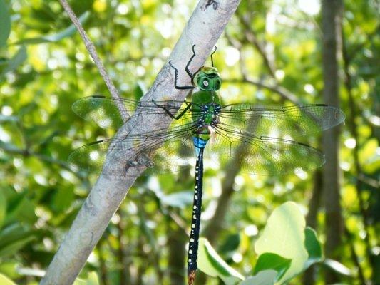 สิ่งที่ตามหาถ่ายตั้งแต่เช้ายันเย็น ได้ท่านพี่ตาเขียวมาช่วย แมลงปอยักษ์เขียวธรรมดา Anax guttatus ตัวผู้