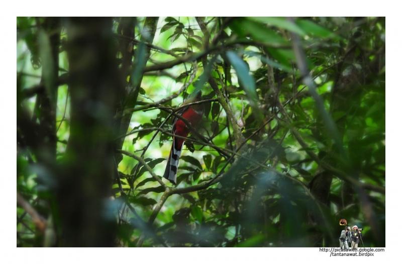red-headed-trogon