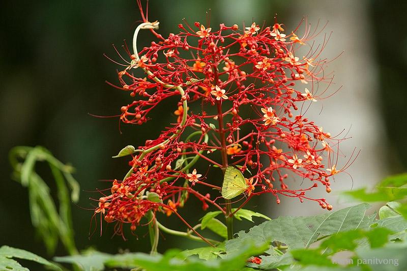 ดอก Clerodendrum sp. กับ ผีเสื้อเณร??