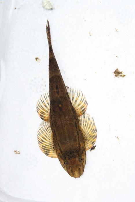 ผีเสื้อติดหิน Homaloptera smithi