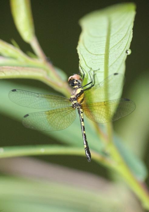 แมลงปอ 2