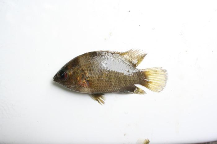 ตะกรับ Pristolepis fasciatus