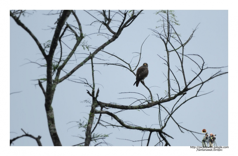 rufous-winged-buzzard