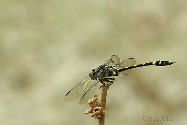 แมลงปอเสือจุดแอบบ็อต  Gomphidia abbotti