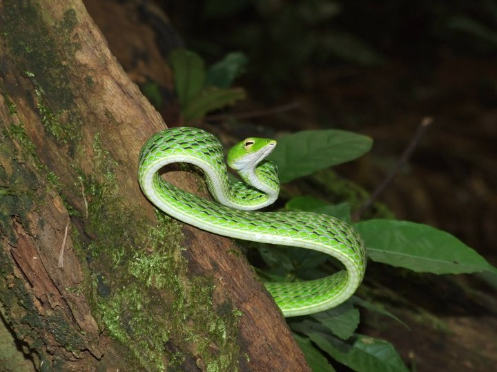งูเขียวปากจิ้งจก | Ahaetulla prasina