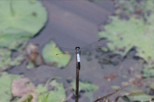 ตัวนี้นับได้ 7 เส้น แมลงปอบ้านสีตะกั่วขนเทา