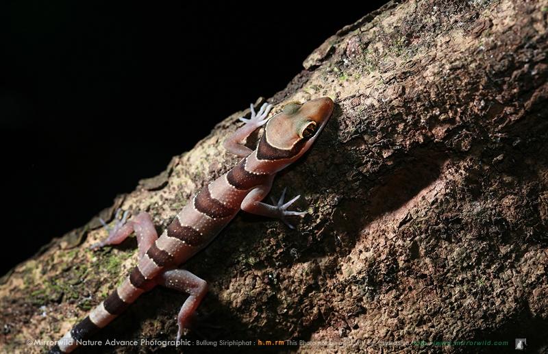 ตุ๊กกายป่าตะวันออก Cyrtodactylus intermedius
