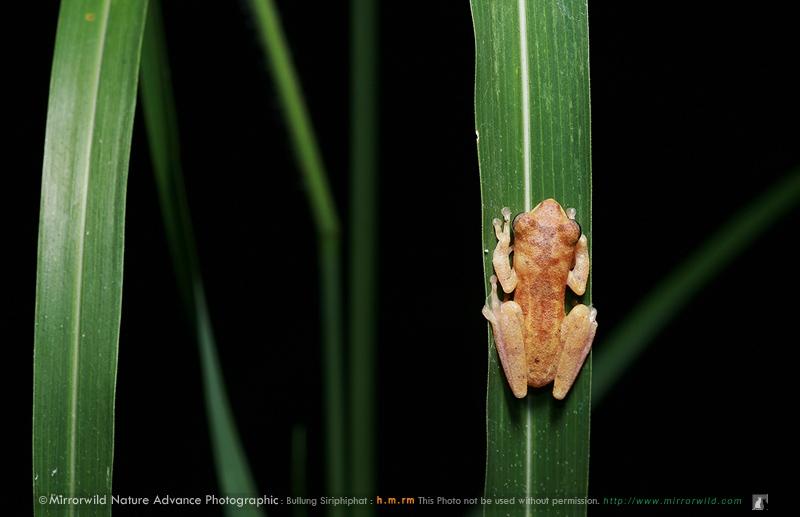 ปาดจิ๋วหนองค้อ Chiromantis nongkhorensis