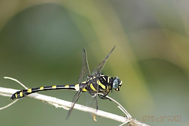 ตัวที่23 แมลงปอเสือลายประดับ ตัวเมีย Ictinogomphus decoratus