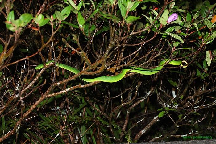 Trimeresurus [Cryptelytrops] albolabris งูเขียวหางไหม้ท้องเหลือง